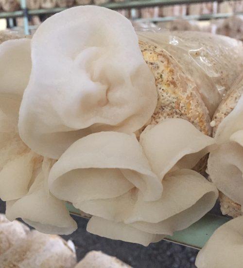 白いきくらげ「白美茸」栽培の様子